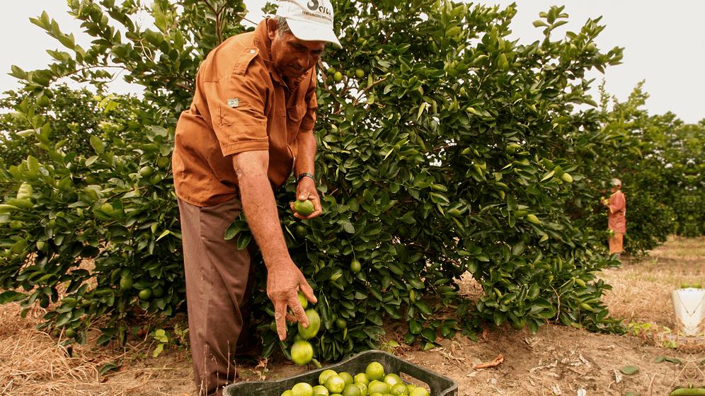 Homem trabalhando na colheita do limão