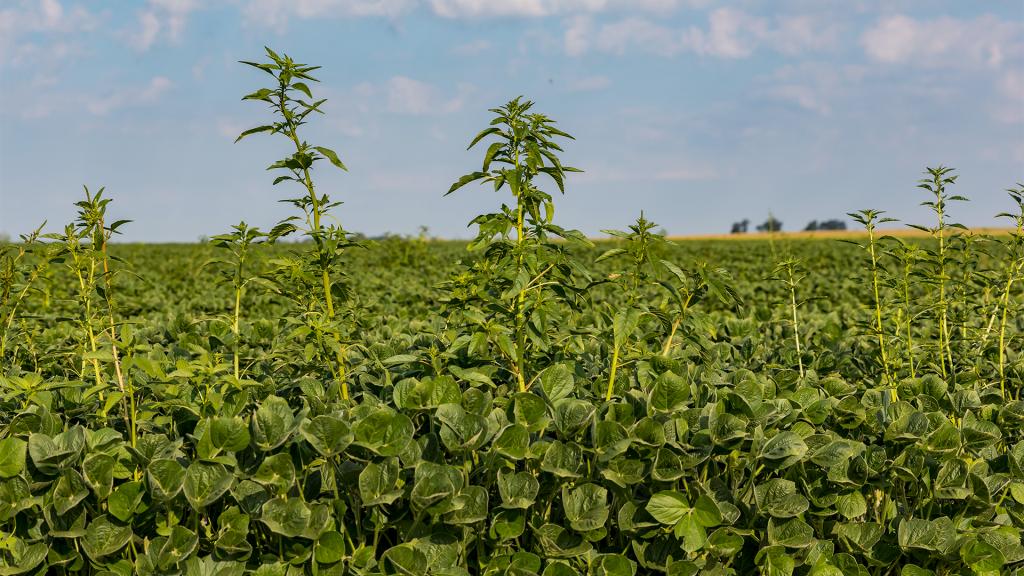 prejuízo plantas daninhas resistentes ao glifosato